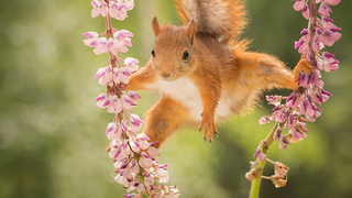wild red squirrels doing yoga - Video
