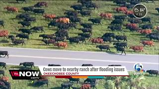 Okeechobee cows rescued - Video