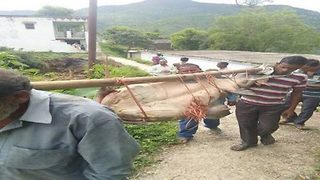 Last moments of giant endangeredcatfish weighing more than motorbike captured beforevillagers devour it - Video
