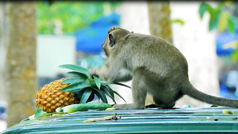 Monkey Steal Pineapple Tourists In Car