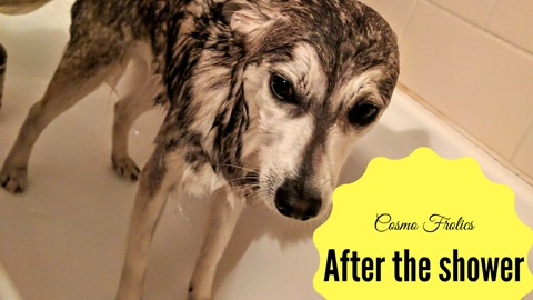 Cosmo the Alaskan Klee Kai hates taking showers