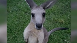 Missing kangaroo is talk of the town in Jupiter Farms - Video