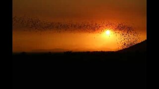 Thousands of bats fly out during magnificent sunset