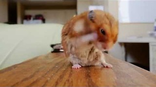 Hamster Dries Itself off in the Cutest Way - Video