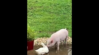 Duck and pig best friends play in the water