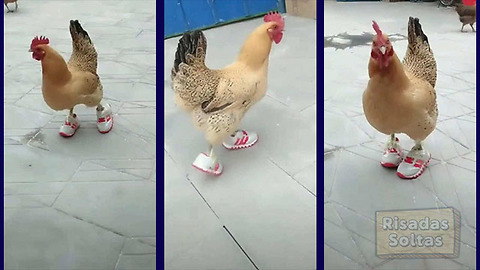 When you think you've seen everything in your life, you find a chicken walking with slippers