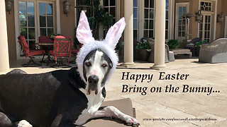Great Dane reluctantly models Easter outfit