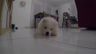 Super Cute Samoyed Pup Tries to Bite Own Tail - Video