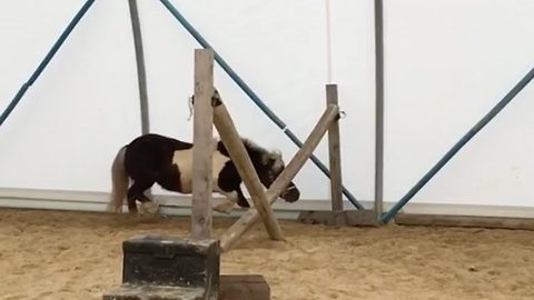 Hold your horses! Hilarious Shetland Pony as other ideas as he runs under fence