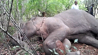 Giving medicine to fallen elephant-helping out injured wild animals-injured elephant saving