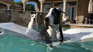 Two Great Danes relax in the pool together