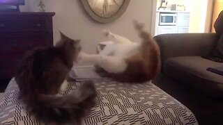 HILARIOUS MOMENT NEW KITTEN CAUSES FAT CAT TO FALL OFF FOOTSTOOL