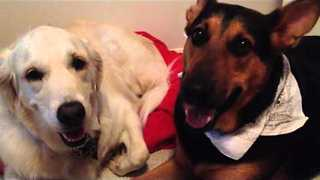 Two Affectionate Dogs Shower Each Other With Kisses - Video