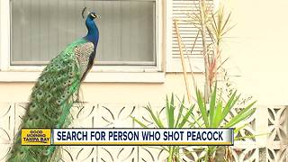 Peacock found in Dunedin impaled by arrow