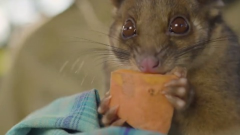 Orphaned Ringtail Possum Clancy Enjoys Treats and Zookeeper Cuddles