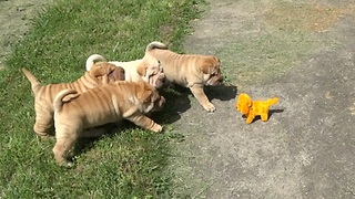 Shar Pei puppies fascinated by robot dog - Video