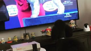 Excited Poodle Watches National Dog Show on Television - Video
