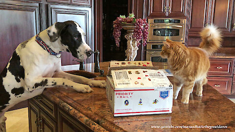 Funny Fast Cat Disciplines Great Dane With A Swat And A Stare