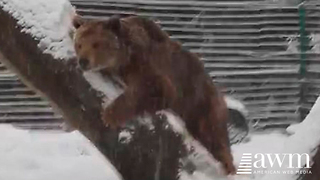 Camera Captures Joyous Moment Bear That's Been Caged For 20 Years, Experiences Snow - Video