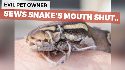 Abused Snake Discovered With It's Mouth Sewn Shut