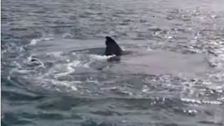Houhora Harbourmaster Issues Warning Over 'Hungry' Great White Sharks - Video