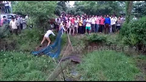 Village works together to remove giant crocodile from pond after pig attack