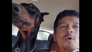 Doberman and owner howl together during car ride