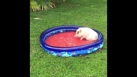 Water-Loving Pig Plays In His New Pool