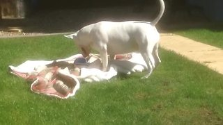English Bull Terrier ecstatic about new toy - Video