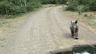 Adorable Baby Rhino Charges Car In Attempt To Scare It Off