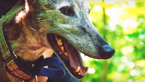 Greyhounds Are the Fastest Dog Breed