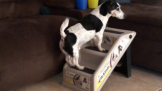 Funny Dog Can't Quite Figure Out How To Use Personal Stairs