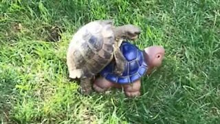 Real turtle tries to mate with clay turtle