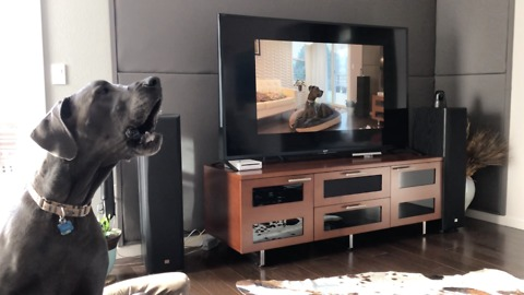 Great Dane howls to video of himself howling on TV