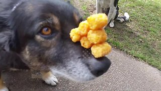 Incredibly patient dog balances a pyramid of tater tots on nose