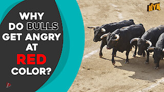 Why do bulls charge at red color?
