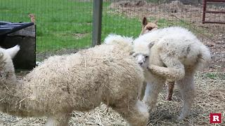 Adorable Alpacas | Rare Animals - Video