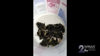 Baby ducklings saved from sewer near Johns Hopkins