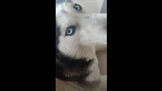 Grumpy husky not thrilled about waking up early