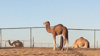 Camel youngster gets frightened, cries out for mamma - Video