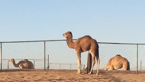 Camel youngster gets frightened, cries out for mamma
