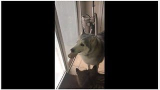 Stubborn Husky Furious He Can't Bury His Treat Outside - Video