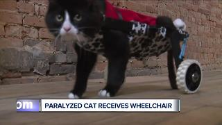 Paralyzed cat receives wheelchair