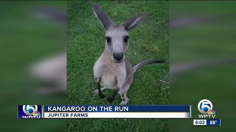 Search for escaped kangaroo named Storm in Jupiter Farms