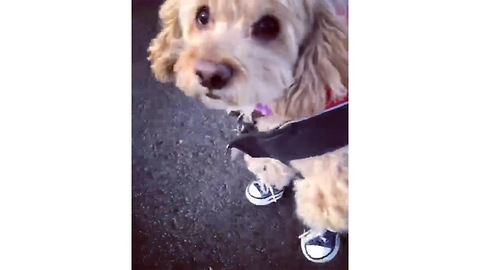 Adorable Cock-a-chon pup is Stylin' in her new Sneakers