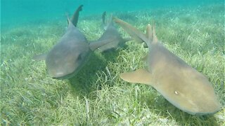 Swimmers meet wild sharks and stingrays face to face in Belize