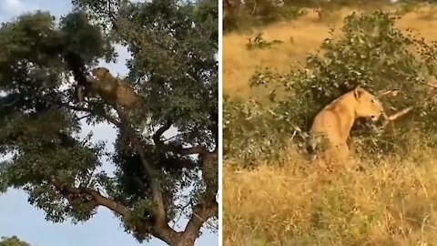 Lion climbs tree to steal kill from leopard