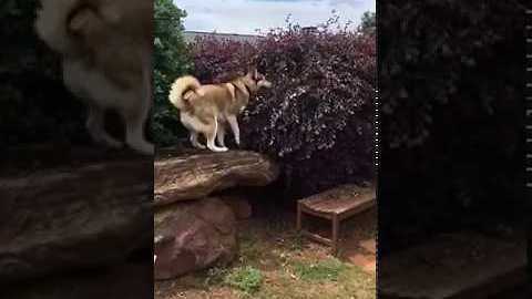 Husky Won't Give Up on Lost Ball