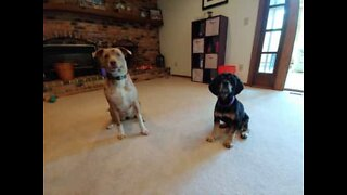 Dogs totally out of sync with trick