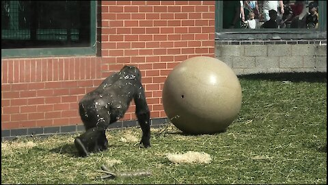 Young Gorilla Plays With A Big Ball